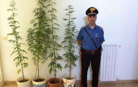 SANTADI, Denunciata una coppia: coltivava in casa piante di cannabis