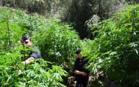 SINNAI,  Scoperta piantagione di marijuana in un pascolo per capre: arrestato allevatore 60enne
