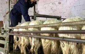 SAN GIOVANNI SUERGIU, In due allevamenti scoperte irregolarità nella somministrazione di medicinali agli animali