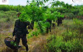 TORTOLI', Coltivava 27 piante di cannabis: arrestato 45enne pregiudicato