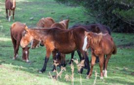Intervenire per proteggere i cavalli bradi di Silius e la sicurezza stradale (Roberto Corona – Lav Cagliari)