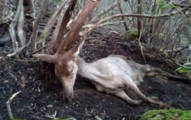 AMBIENTE, Sorpresi 4 bracconieri nel Parco di Gutturu Mannu: un cervo tra gli animali uccisi