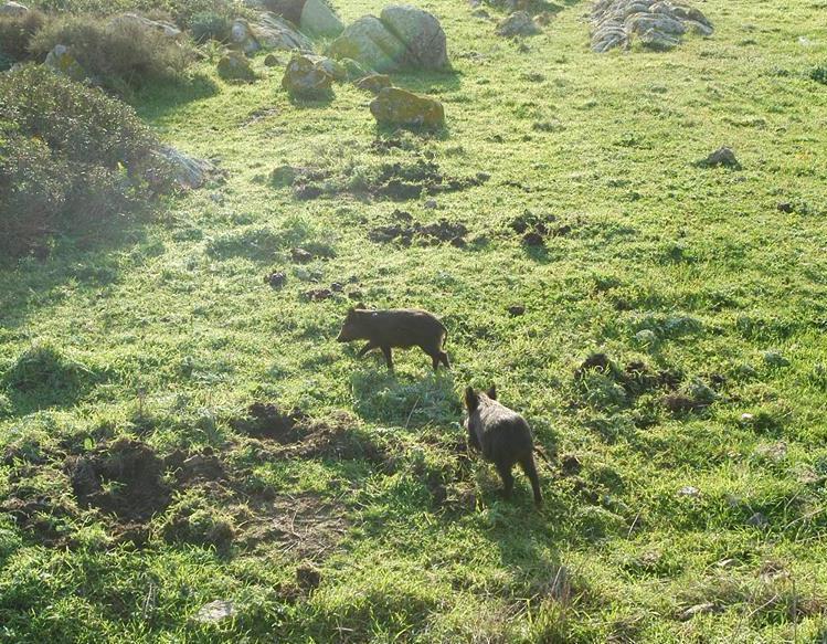 AMBIENTE, Cinghiali continuano a causare ingenti danni nei campi oristanesi