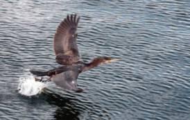 """AMBIENTE, Emergenza cormorani. Solinas (Psdaz) """"Servono azioni urgenti per non compromettere stagione di pesca"""""""