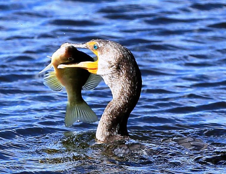 """PESCA, Coldiretti: """"Cormorani nemici dei pescatori, serve abbattimento controllato"""". Grig: """"Capri espiatori di cattiva gestione stagni"""""""