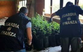 TORTOLI', Scoperta piantagione di marijuana con oltre 100 piante in un capannone abbandonato