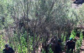 CALANGIANUS, Scoperta piantagione di marijuana ed arrestato il coltivatore: avrebbe fruttato 50mila euro