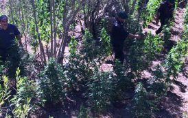 OSCHIRI, Individuata piantagione di marijuana con 270 piante. Sequestrata pistola automatica con matricola abrasa