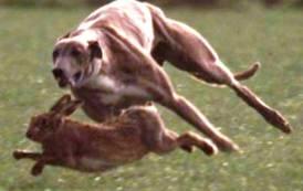 SANLURI, Caccia alla lepre coi levrieri: denunciato bracconiere
