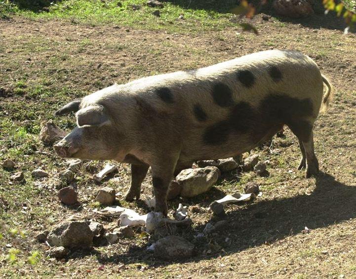 ORGOSOLO, Il Commissario chiede alla Regione di sospendere l'abbattimento dei maiali
