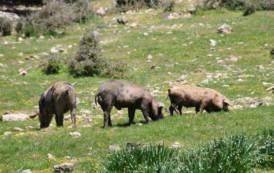 Peste suina africana: malattia penalizzante per l'economia della Sardegnada sconfiggere definitivamente (Nico Mundula)