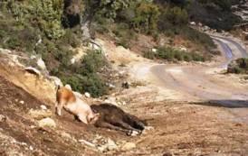 PESTE SUINA, Abbattuti ad Orgosolo 215 maiali al pascolo brado illegale