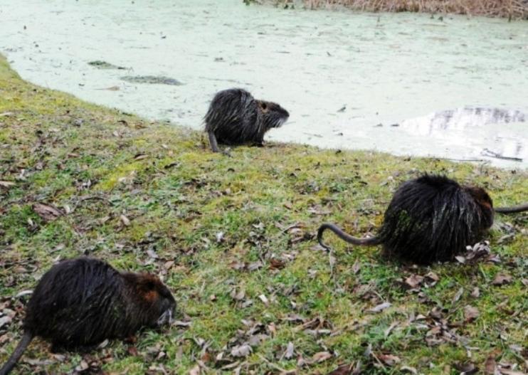"""ORISTANO, Coldiretti: """"Fauna selvatica fuori controllo: nutrie in città. Regione attivi i  piani di contenimento"""""""