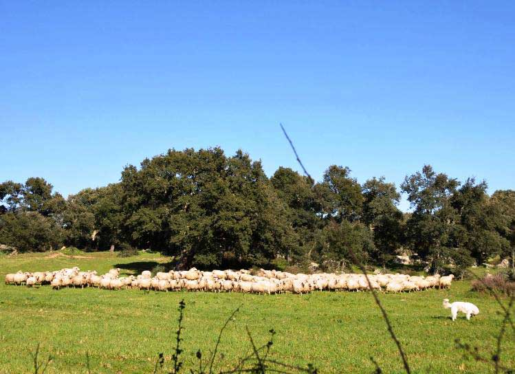 pecore5