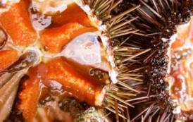 SULCIS, Dopo Sant'Antioco anche Calasetta approva moratoria per la pesca del riccio di mare
