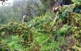 TALANA, Trovate 270 piante di canapa in territorio comunale: avrebbero fruttato 170mila euro