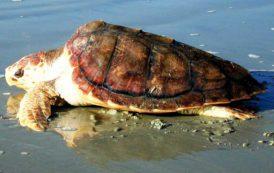 TORTOLI', Domani saranno liberate nel mare di Basaùra tre esemplari della tartaruga Caretta Caretta