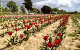 """PIMENTEL, Domenica 31 marzo apre """"Il Giardino di Lù"""": 50.000 tulipani piantati per finanziare la Ricerca"""