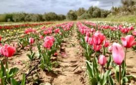 SOLIDARIETA', Da Turri a Pimentel: nasce un campo di 15.000 tulipani, il ricavato verrà devoluto per la Ricerca