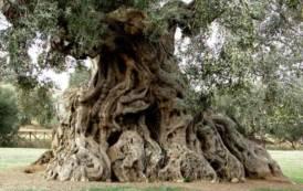 AGRICOLTURA, Salvaguardare gli olivi plurisecolari, risorsa identitaria della Sardegna