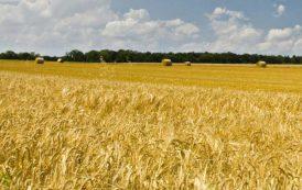 """AGRICOLTURA, Truzzu (FdI): """"Grano per prodotti sardi arriva dal Canada. Regione tuteli la produzione locale"""""""